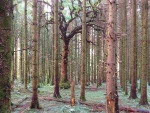 old oak in sitka stand suring volume assessment